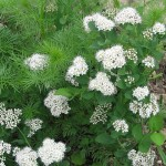 Birch-leaved spiraea