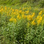 Canadian goldenrod